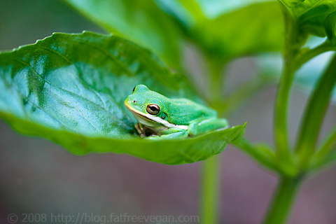 Frog in the Basil