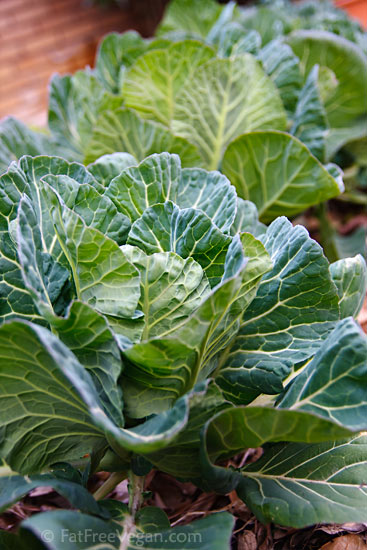 Collards in the Garden