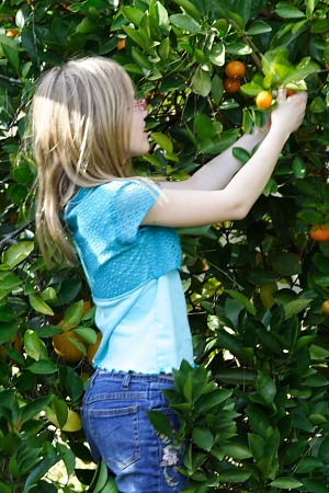 E picking calamondins