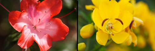 Azalea and Yellow Flower