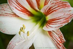 Backyard Amaryllis
