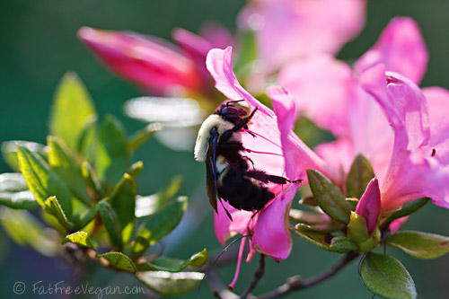 Bee-on-azalea