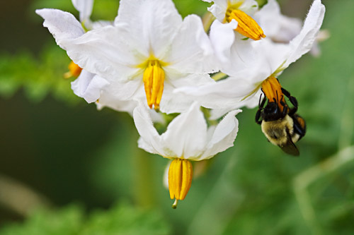 Bee on Litchi Tomato Flower