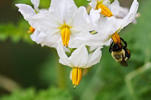 Bee on Litchi Tomato Flower
