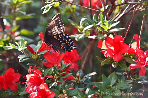 Butterfly on Azaleas