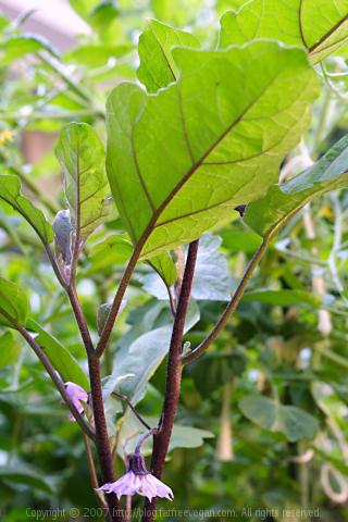 Eggplant Plant