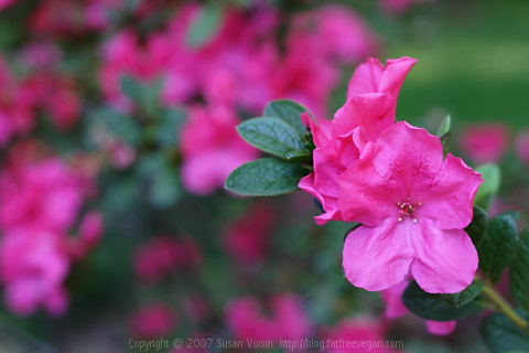 Southern Summer Rose Azalea