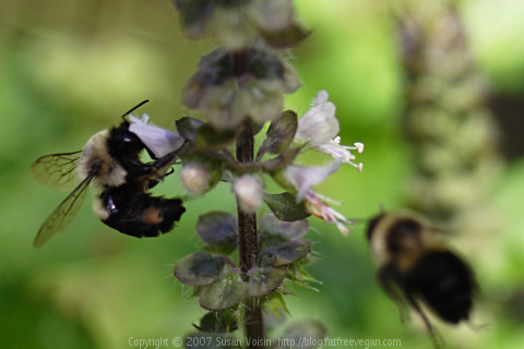 Bees on Basil
