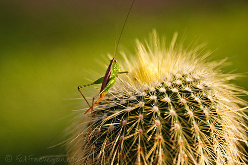 Grasshopper on Cactus