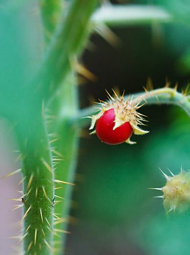 Litchi Tomato