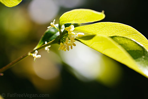 Sweet Olive Flowers