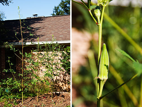 Crazy Tall Okra
