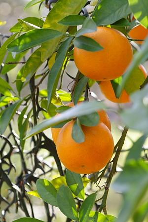 Mystery Citrus