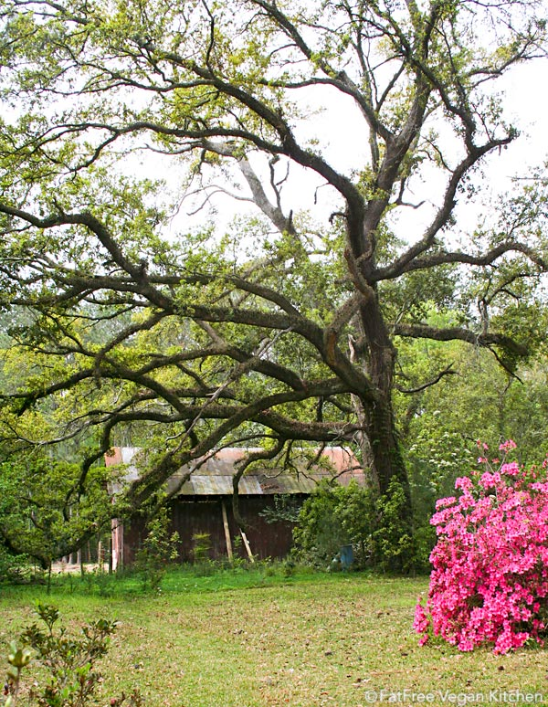 Barn, oak, and azalea
