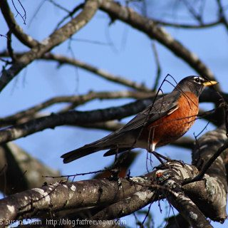 Robins: Harbingers of Spring or Winged Nuisances?