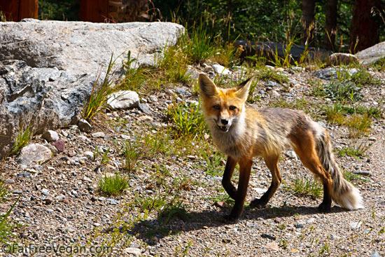 Colorado Fox