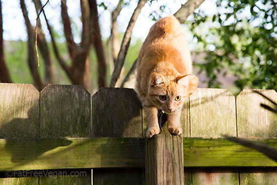 Milo the Neighbor Cat