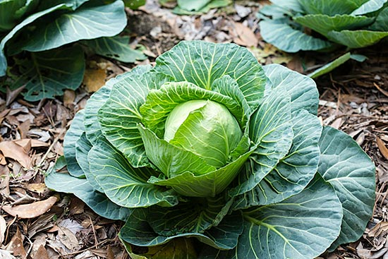 Homegrown Cabbage