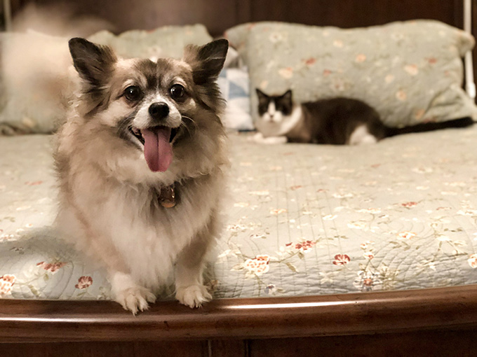 Bandit, a 4-year old Pomeranian, on a bed with cat