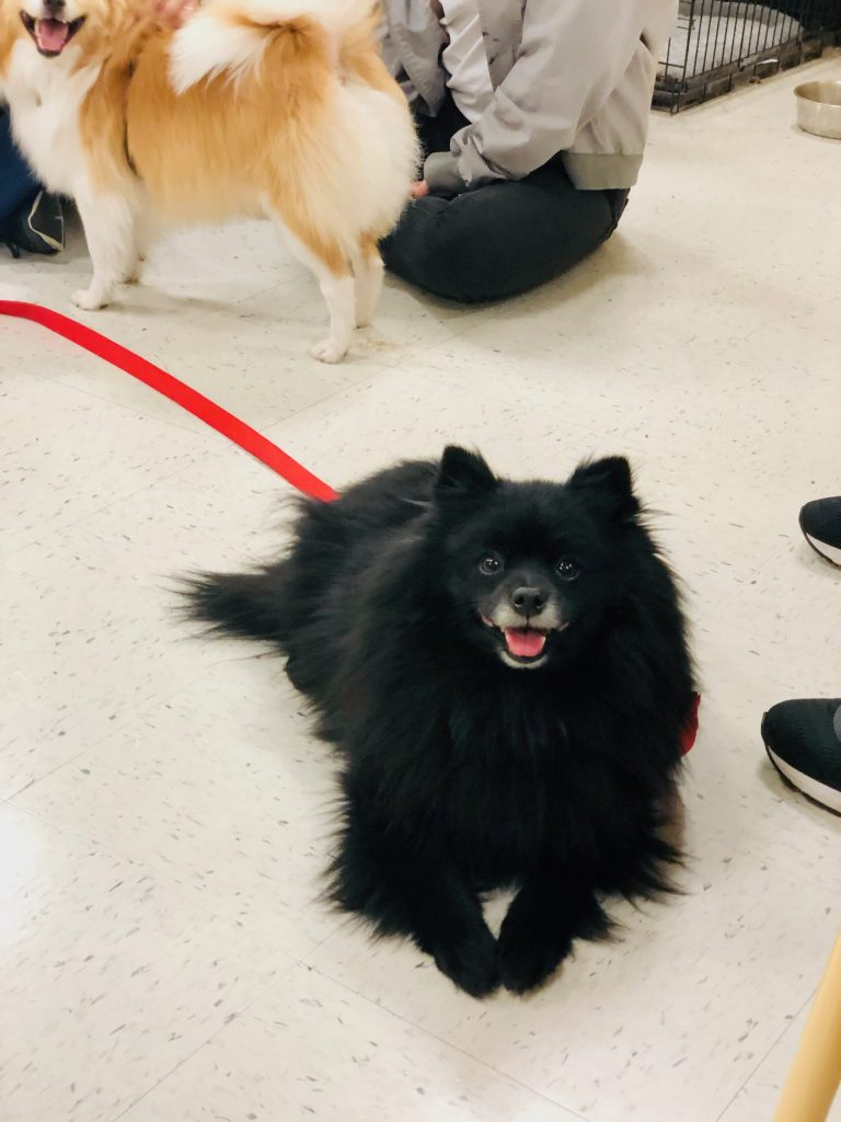 Salem, a black Pomeranian, on his adoption day